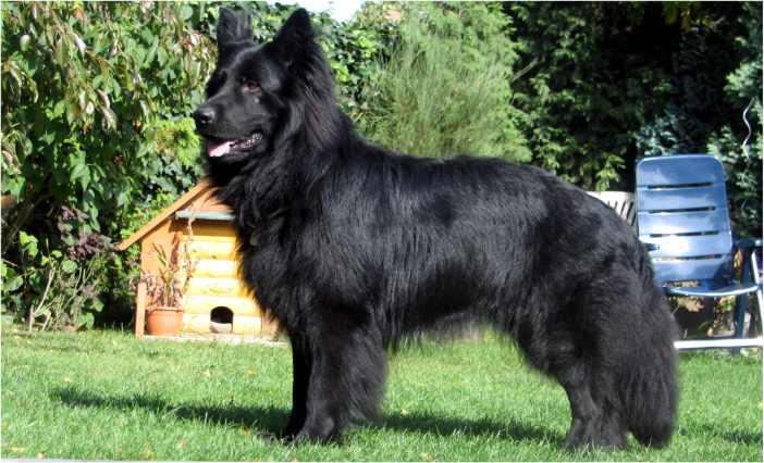 Schwarzer Schäferhund Animals ÷ Hunde dogs and