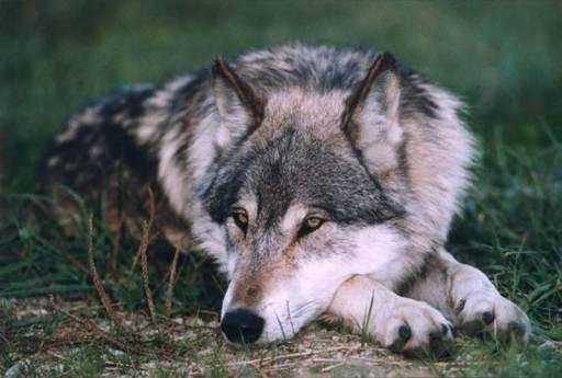 Braune Wölfe
